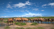 Kameler ved bekken © KinaReiser as